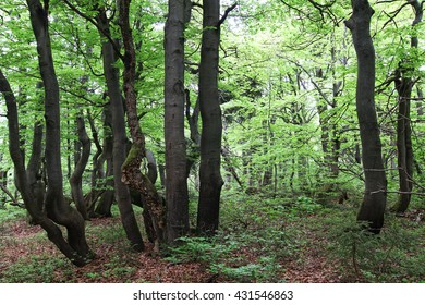 Twisted trunks of beech trees - old beech forest, Czech republic