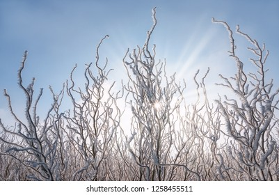 Twisted twigs of Corkscrew willows covered with white hoar frost crystals on a cold sunny winter day, Germany