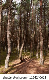 twisted and warped pine trunks from harsh conditions and strong winds in the national Park of the Curonian spit
