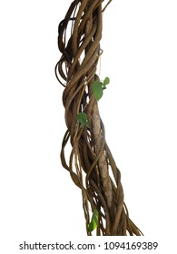 Twisted wild liana jungle vines plant growing on tree branch isolated on white background, clipping path included.
