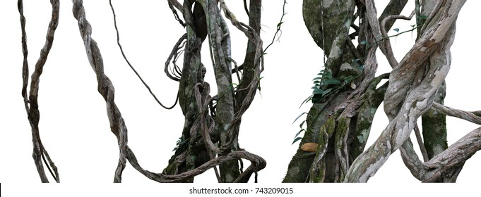 Twisted wild liana messy jungle vines plant with moss, lichen and wild climbing orchid leaves isolated on white background, clipping path included. Tropical rainforest, jungle background.