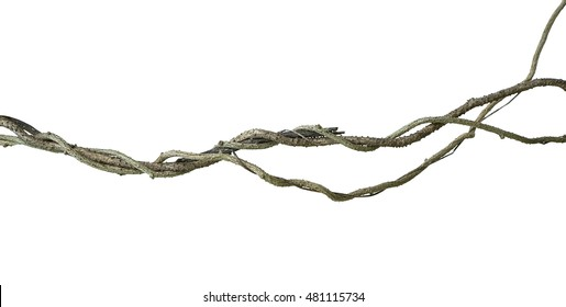Twisted wild vine isolated on white background, clipping path included