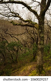 The twisting, curving branches of trees, in a rainfall in Wales.