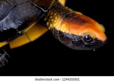 Twist-necked turtle (Platemys platycephala)