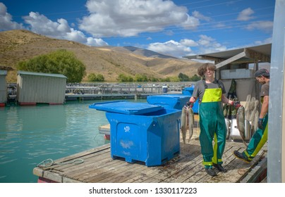Twizel, South Island, New Zealand, Feb 12th, 2019: High Country Salmon ,  staff is showing their salmon. famous travel spot, tourist feeding Salmon Fish in floating farm on the glacial waters
