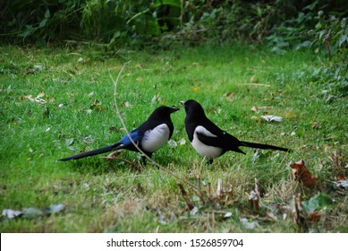 Two (2) Eurasian magpie, European magpie, Common magpie (Pica pica) birds in Vondelpark Amsterdam City, Netherlands September 2019. The bird on the left is a male and on the right is female.