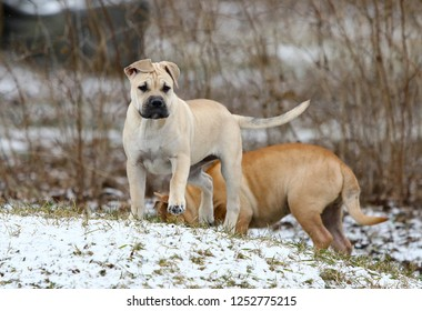 Two 3 months old Ca de Bou (Mallorquin Mastiff) female puppy dogs playing outdoors