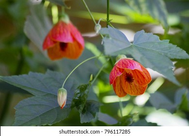 Two Abutilon Pictum aka Redvein Indian Mallow, Chinese Lantern flower or flowering maple growing in natural garden with foliage and bud. Red mallow plant (Abutilon). Redvein Abutilon native to Brazil.