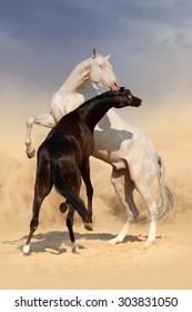 Two achal-teke horses fight on desert dust