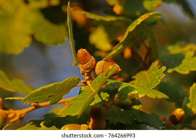 two acorns Latin balanus on an Italian oak tree in autumn or fall in Italy Latin quercus often collected for pig food