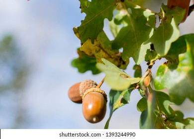 two acorns in the sun