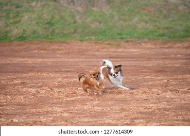 two active playful little dogs chihuahua running on ground in pursuing