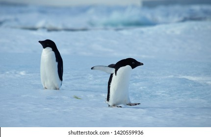 Two Adele penguins playing on the ice of Antarctica