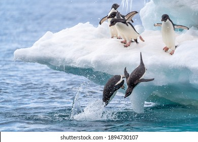 Two adelie penguins race to be first to dive into the water from an iceberg