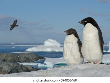 Two Adelie penguins standing on snowy hill, looking at flying skua, with blue sea and iceberg in background, Antarctic Peninsula