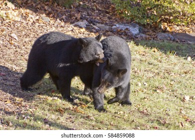 Two adolescent black bears of equal size fight for dominance in an urban backyard in autumn