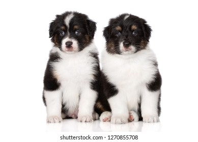 two adorable aussie puppies posing together on white