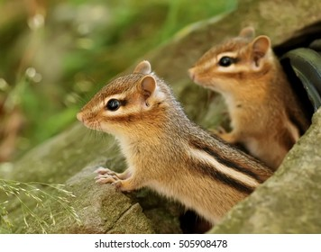 Two adorable baby chipmunk siblings emerging from a drainpipe