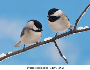 Two adorable Black- capped Chickadee friends (Poecile atricapillus) on a snowy winter branch.