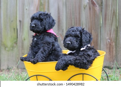 two adorable black labradoodle puppies wearing bandana's in a small yellow wagon in the grass with a fence in the background