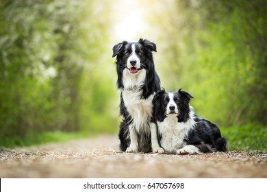 Two Adorable Black And White Border Collies Portrait