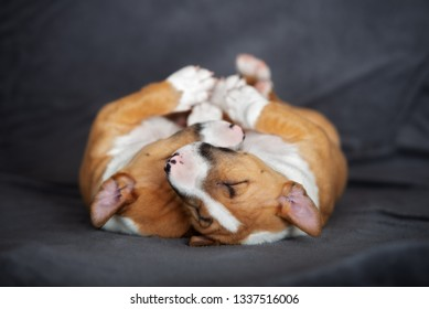 two adorable bull terrier puppies sleeping together