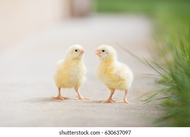 two adorable chicks standing outdoors