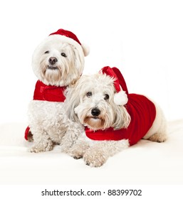 Two adorable coton de tulear dogs wearing santa costumes