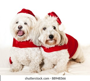 Two adorable coton de tulear dogs wearing santa costumes