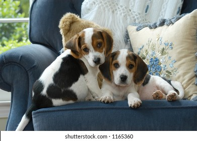 Two adorable cute beagle puppies on a chair