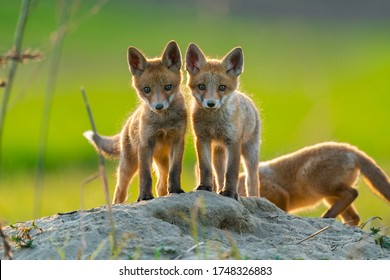 two adorable fox cubs looking at the camera