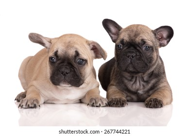 two adorable french bulldog puppies lying down on white