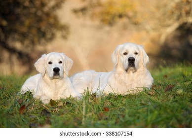 two adorable golden retriever dogs lying down