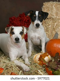 Two adorable Jack Russel Terriers in autumn setting
