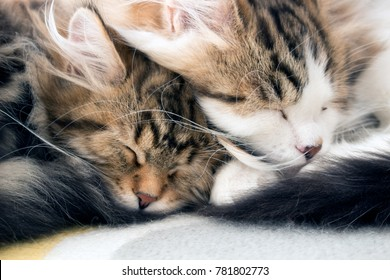 Two adorable kittens sleeping together close up. Cute little Siberian Forest Cats, curled up napping face to face. Concepts of love, sleep, snuggle. Siberian cats are thought to cause fewer allergies
