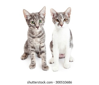 Two adorable little grey color domestic shorthair kittens sitting together on a white studio background