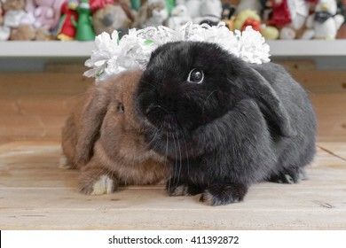 Two Adorable Looking Rabbits on wooden table full with curiosity, Holland Lop Pure Breed, Selective Focus, love and wedding concept