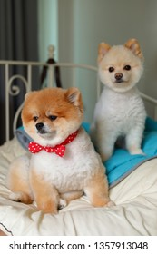 two adorable pomeranian dog small animal in home, cute pet grooming face round short hairstyle