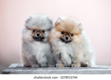 two adorable pomeranian spitz puppies