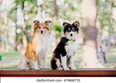 Two adorable sheltie dogs posing together