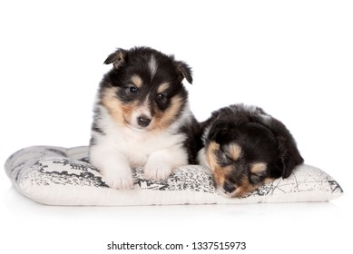 two adorable  sheltie puppies resting on a pillow