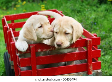 two adorable yellow lab puppies in red cart