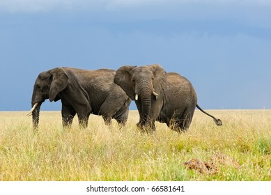 Two adult african elephants in savannah
