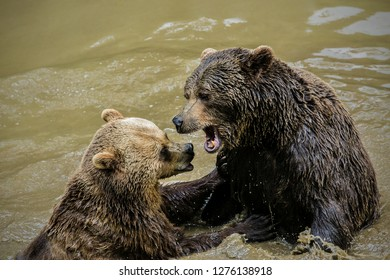 Two adult brown bears, Ursus arctos, messing around in muddy water showing yellow teeth, making waves, sunny day in National Park Bayerischer wald, blurry background