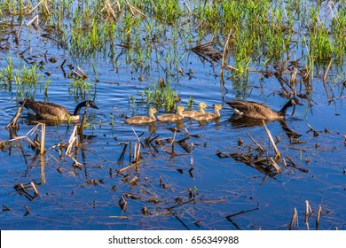Two adult Canada geese (Branta canadensis) and four goslings swimming in a freshwater marsh in spring at Billy Frank Jr. Nisqually National Wildlife Refuge, Washington state.