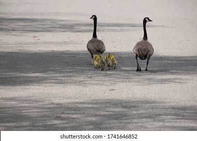 Two adult Canadian geese and their  fluffy goslings waddle down a street in springtime