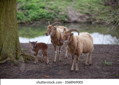 Two adult Castlemilk Moorit sheep with a lamb standing on a river bank. Rare breed