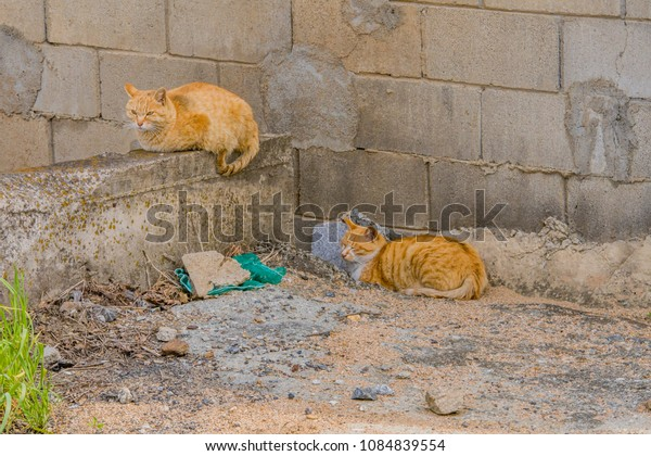 Two adult cats with brownish orange fur resting in front of concrete block wall on sunny morning.
