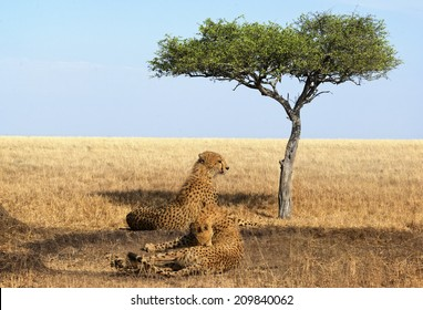 Two adult cheetahs resting in shadow, Masai Mara National Reserve, Kenya, East Africa