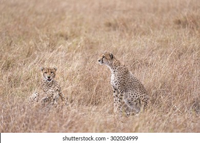 Two adult cheetahs  sitting in tall savanna grass of  Masai Mara National Reserve, Kenya, East Africa